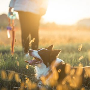 Border Collie on a dog walk in a meadow