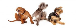 Three young dogs sitting together on a white background and scratching, implying flea infestation.