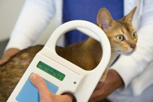 Microchip scanner being used to check a cat for an implant