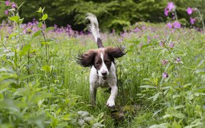 Springer spaniel running face-on towards the camera in a meadow