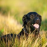 Black Labrador on a dog walk in a field of long grass