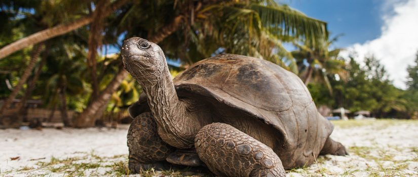 Giant tortoise on a beach. This species does not hibernate.