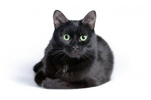 Black cat lying on a white background, looking at camera.