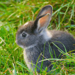 Feeding pet rabbits appropriately - dwarf rabbit in long grass